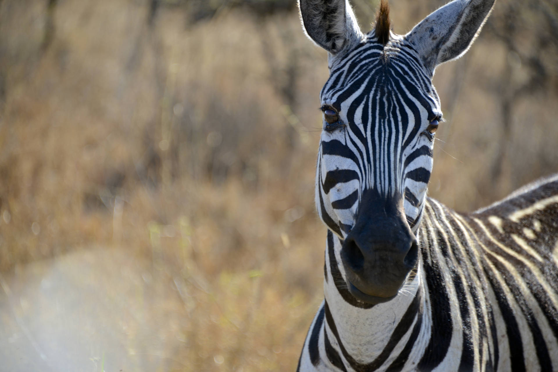 Africa: Kenya: A Zebra pauses to eat in Nairobi National Park