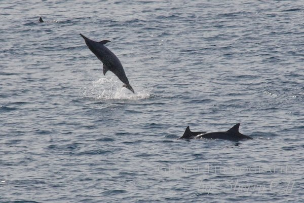 spinner dolphins play in the bay