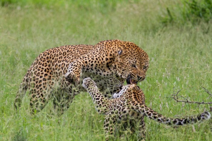 Camp Pan lays into what is possibly his daughter, the Tamboti young female.